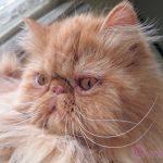 ペルシャ猫今ではみんな仲良し!ネコ同士同居させる場合「相性」の確率が高い組み合わせ!