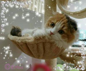 愛猫(ペルシャ猫&スコテイッシュフォールド)とペルシャとチンチラの違い