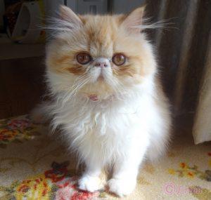 ショッキングニュース!クローン猫が作られている?!