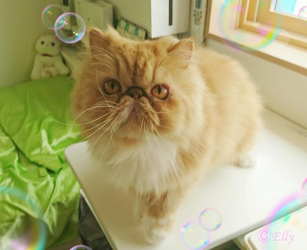 猫のかかりやすい病気「慢性腎臓病」について