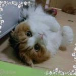 可愛い代表的な日本と世界の人気猫20品種大集合!💖🎶😺