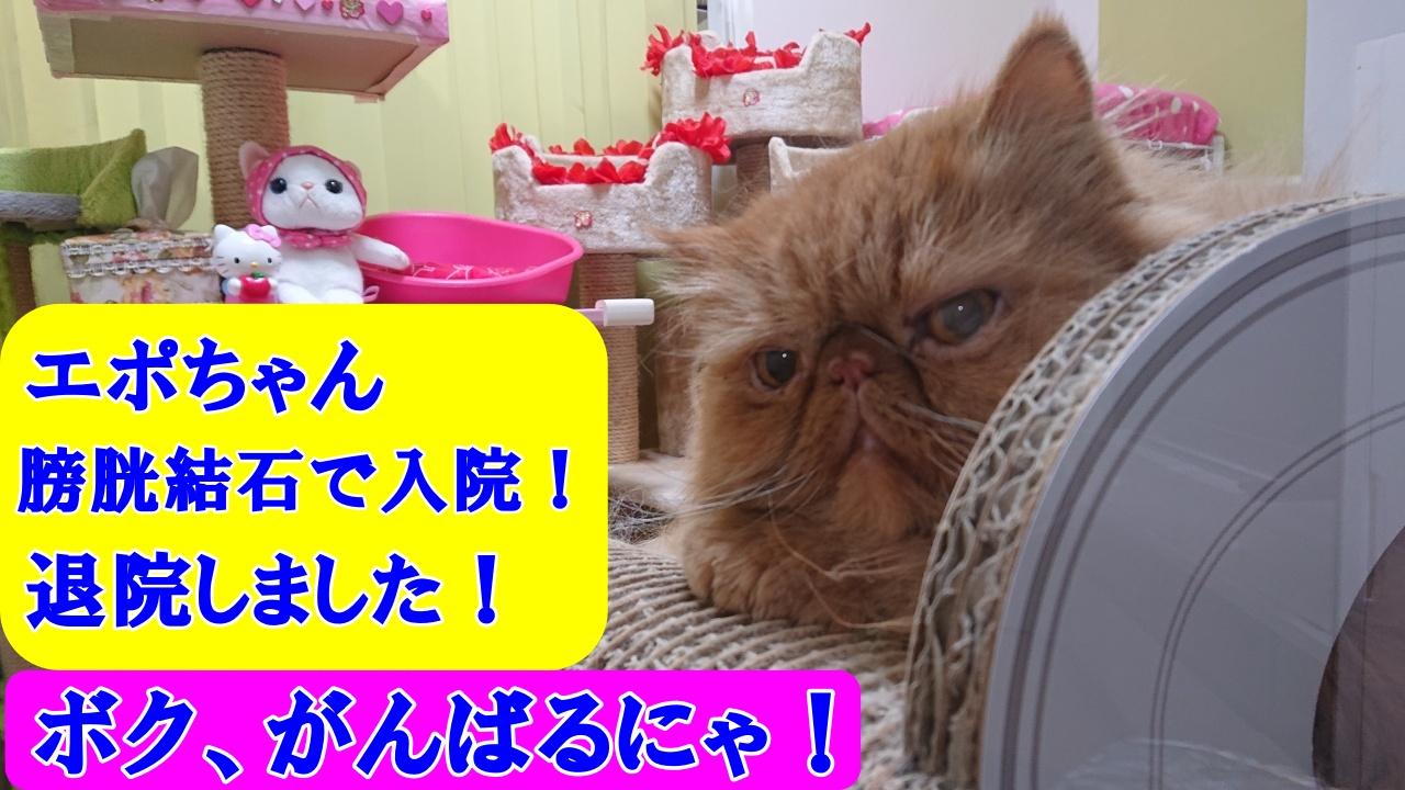 実録!愛猫がとりあえずの退院!検査結果、等と猫が入院治療にかかった費用とペット保険について