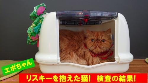 実録!その⑤【動画あり】猫膀胱炎!尿疾患は猫種は関係なし!ペルシャ猫のエポちゃんの膀胱結石のX線検査の結果にドキドキ!
