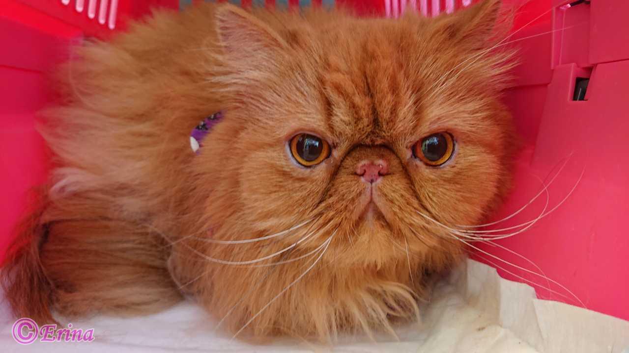 実録!その8【猫動画あり】愛する猫の奇跡を願う!愛猫ペルシャのエポの猫膀胱結石!7回目の検査の状況!