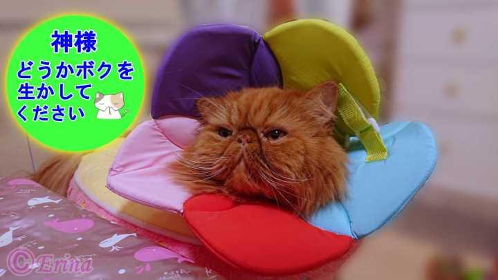 愛猫が病気になった!その10【猫のお話&猫動画】愛猫エポの会陰尿道聾(えいんにょうどうろう)手術して無事退院!その様子と今後の願い